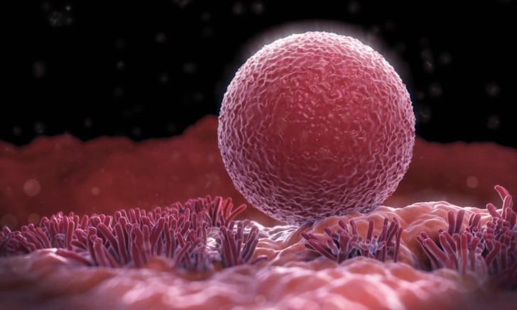 Сколько живет яйцеклетка после овуляции -